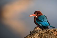 Kingfisher. Dive and catch fish efficiently Royalty Free Stock Image