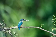 Kingfisher eating fish closeup stock photography