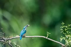 Kingfisher eating fish closeup royalty free stock image