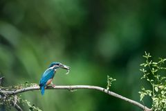 Kingfisher eating fish closeup royalty free stock photo