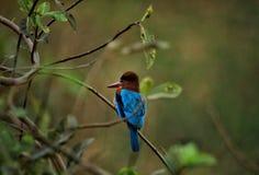 kingfisher imagenes de archivo