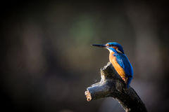 The Kingfisher enjoy sunlight and catching fish. Royalty Free Stock Photos