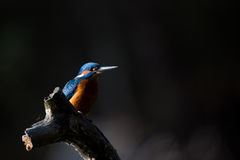 The Kingfisher enjoy sunlight and catching fish. Stock Photography