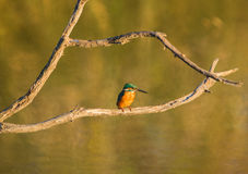 Kingfisher evening sun Royalty Free Stock Image