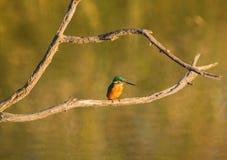 Kingfisher evening sun Royalty Free Stock Image