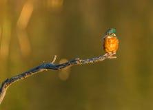 Kingfisher evening sun Royalty Free Stock Photography