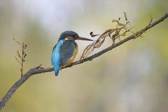 kingfisher för alcedoatthiscommon Arkivbilder