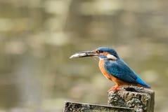 kingfisher för alcedoatthiscommon Fotografering för Bildbyråer