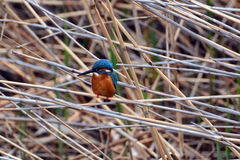 Kingfisher. Feather color is gorgeous, vigilance is very high, flying quickly, in order to prey on small fish for a living Stock Image
