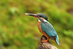 Kingfisher Female Stock Images
