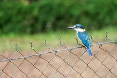 Kingfisher on the fence. A blue kingfisher perched on a fence in Papua New Guinea Stock Images