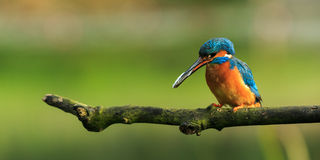 Kingfisher with fish (Alcedo atthis) Royalty Free Stock Images
