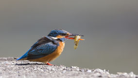 Kingfisher with Fish Stock Photos