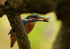 Kingfisher with fish in the beak,close. Poland in June.Common Kingfisher with caught fish is sitting on the branch of the felled tree.Close view Stock Photos