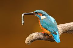 Kingfisher with a fish in the beak perched on a branch. Portrait of a kingfisher with a fish in the beak perched on a branch with an unfocused background Royalty Free Stock Photography