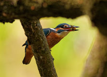 Kingfisher with fish in the beak. Poland in June.Common Kingfisher with caught fish is sitting on the branch of the felled tree Royalty Free Stock Image