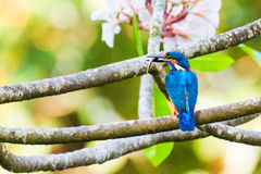 Kingfisher with a fish Royalty Free Stock Photos