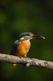 Kingfisher with fish Royalty Free Stock Images
