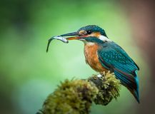 Kingfisher with fish on a mossy branch royalty free stock photography