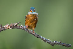 Kingfisher with fish Royalty Free Stock Photography