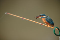 Kingfisher with fish Royalty Free Stock Image