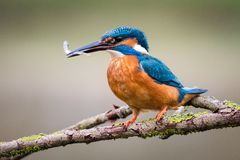 Kingfisher with fish Royalty Free Stock Photo