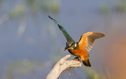 Kingfisher Flapping Wings Stock Photography