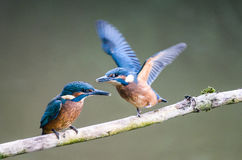 Kingfisher fledglings Stock Images