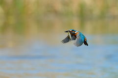 Kingfisher in flight (alcedo atthis) Stock Photography