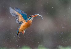Kingfisher in flight with catch Royalty Free Stock Images
