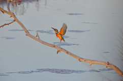 Kingfisher flying in marsh Stock Photos
