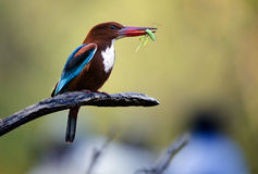 Kingfisher with grasshopper Royalty Free Stock Photo