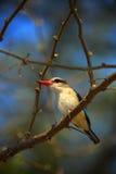 Kingfisher in the green habitat. Brown-hooded Kingfisher, Halcyon albiventris, in Chobe National Park, Botswana. Wildlife scene wi Stock Image