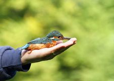 Kingfisher in hand Stock Image