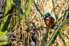 A kingfisher on his branch Royalty Free Stock Images