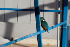 Kingfisher industry. Alcedo atthis, Great Kingfisher on fence Royalty Free Stock Photo