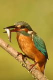 Kingfisher with its prey on a branch Royalty Free Stock Photos