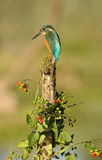 Kingfisher in its usual host Royalty Free Stock Photos