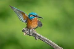 Kingfisher. Bird hunter wings beak predator Stock Photography