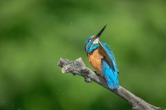 Kingfisher. Bird hunter wings beak predator Stock Photo