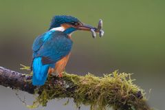 Kingfisher. With three fish, sushi time Royalty Free Stock Photo