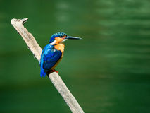 Kingfisher laid on a dead branch with green background copyspace Royalty Free Stock Photo