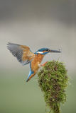 Kingfisher landing Royalty Free Stock Photography