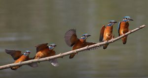 Kingfisher Landing Sequence royalty free stock photos