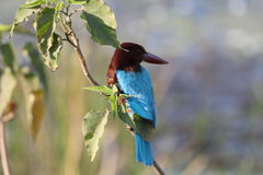 Kingfisher Royalty Free Stock Images
