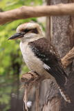 Kingfisher - laughing kookaburra Stock Images