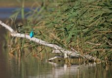 KINGFISHER. A living gem on a branch Stock Photography