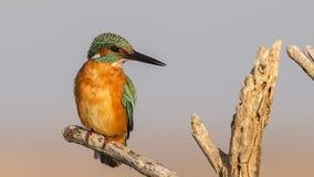 Kingfisher on Log Royalty Free Stock Photography