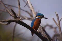 Kingfisher on the look-out Royalty Free Stock Photography