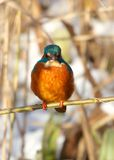 Kingfisher looking Royalty Free Stock Photos